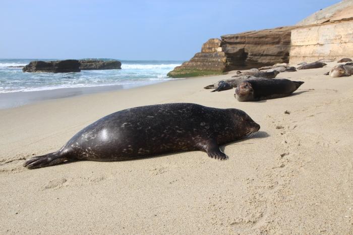 La Jolla Cove Seals 3-1-16