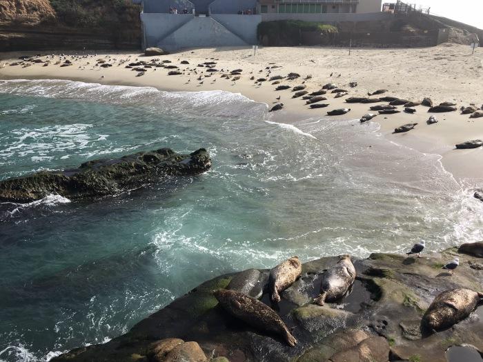 La Jolla Cove Seals Tanning