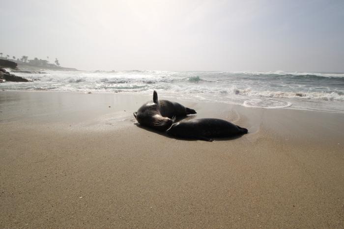 La Jolla Seals Sun Bathing