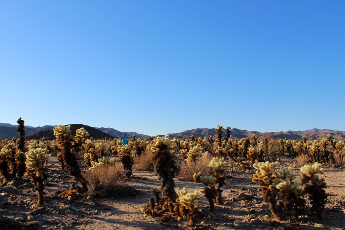 8-dave-in-the-cactus-field-joshua-tree