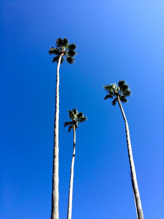 laguna-beach-palm-trees